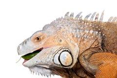 在白色的绿色鬣鳞蜥 库存照片