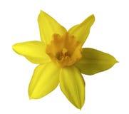 在白色的黄色黄水仙花隔绝了与裁减路线的背景 没有影子 特写镜头 免版税库存照片