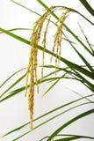 在白色的水稻 库存图片