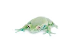 在白色的Alytolyla treefrog 免版税图库摄影