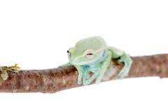 在白色的Alytolyla treefrog 库存照片