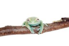 在白色的Alytolyla treefrog 免版税库存图片