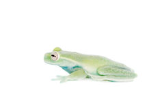 在白色的Alytolyla treefrog 库存图片
