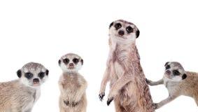 在白色的meerkats 免版税库存照片