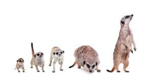 在白色的meerkats 库存图片
