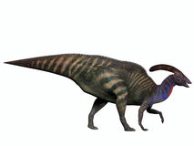 在白色的Parasaurolophus