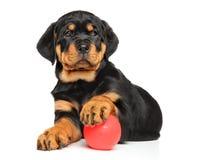 在白色的Rottweiler小狗 免版税库存图片
