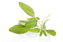 在白色的Salvia。 免版税库存图片