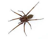在白色的Tegenaria蜘蛛 免版税库存图片