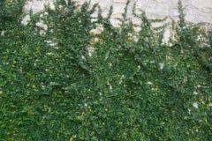 在白色石墙上的绿色藤 库存图片