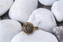 在白色石头的蜗牛 免版税库存图片