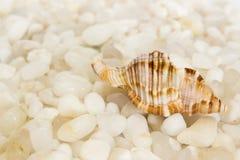 在白色石头的贝壳 库存图片