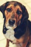 在白色砖地上的猎犬 免版税库存图片