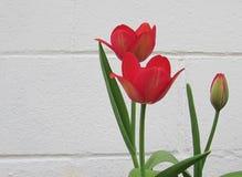 在白色砖墙前面的桃红色郁金香 库存照片