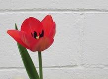 在白色砖墙前面的桃红色郁金香 免版税库存照片