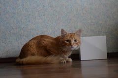在白色箱子旁边的红色猫 库存照片