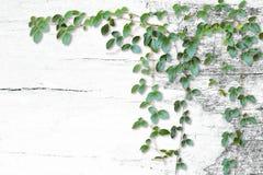 在白色老木背景的野生攀缘藤本 免版税库存图片