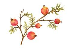 在白色背景、分支与绿色叶子和果子隔绝的葡萄酒石榴 水彩样式果子 免版税库存图片