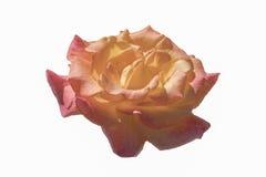 在白色背景上升了开花隔绝的美丽的桔子 库存图片