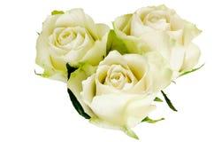 在白色背景与雨下落的美丽的三朵玫瑰隔绝的 库存图片