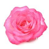 在白色背景与水下落的美丽的桃红色罗斯花隔绝的 图库摄影