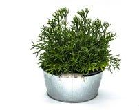 在白色背景中隔绝的铝盆的植物 免版税库存照片