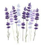 在白色背景传染媒介例证隔绝的淡紫色 免版税库存图片