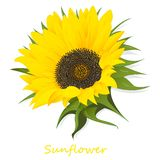 在白色背景例证隔绝的向日葵 库存图片