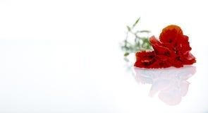 在白色背景前的红色花 免版税图库摄影