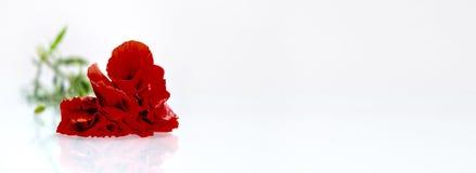在白色背景前的红色花 免版税库存照片