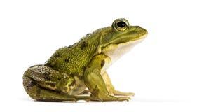 在白色背景前面的共同的水青蛙 库存照片