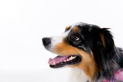在白色背景前面的博德牧羊犬 免版税图库摄影