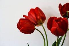 在白色背景前面的红色郁金香boquet 免版税库存照片
