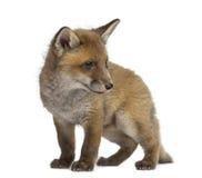 在白色背景前面的Fox崽 免版税库存图片