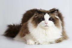 在白色背景前面的Ragdoll猫 库存照片