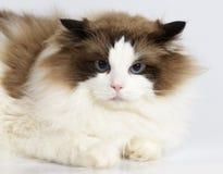 在白色背景前面的Ragdoll猫 免版税库存图片
