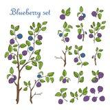 在白色背景和分支隔绝的蓝莓集合、叶子、莓果 库存图片