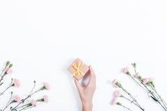 在白色背景和妇女的手w的一点桃红色康乃馨 免版税库存照片