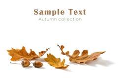 在白色背景和橡子隔绝的橡木叶子 免版税库存照片