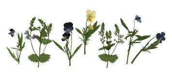 在白色背景和紫罗兰色花隔绝的被按的干干燥标本集蝴蝶花 图库摄影
