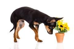 在白色背景和花隔绝的狗 库存图片