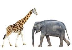 在白色背景和长颈鹿隔绝的大象 站立的大象和的长颈鹿全长 动物园或徒步旅行队动物 库存照片