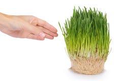 在白色背景在手中隔绝的年轻五谷新芽,绿草,健康食物 库存照片