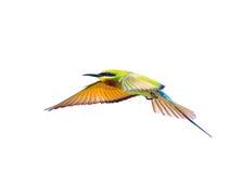 在白色背景在飞行中隔绝的青被盯梢的食蜂鸟 免版税库存图片