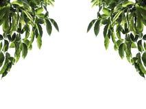 在白色背景孤立的绿色叶子框架 免版税图库摄影