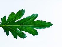 在白色背景孤立的绿色叶子 库存照片