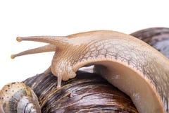 在白色背景宏指令的蜗牛 免版税库存图片