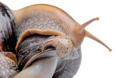 在白色背景宏指令的蜗牛 库存图片