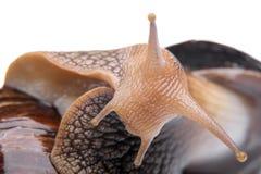 在白色背景宏指令的蜗牛 免版税库存照片