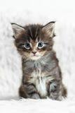 在白色背景毛皮的小灰色缅因浣熊小猫 免版税图库摄影